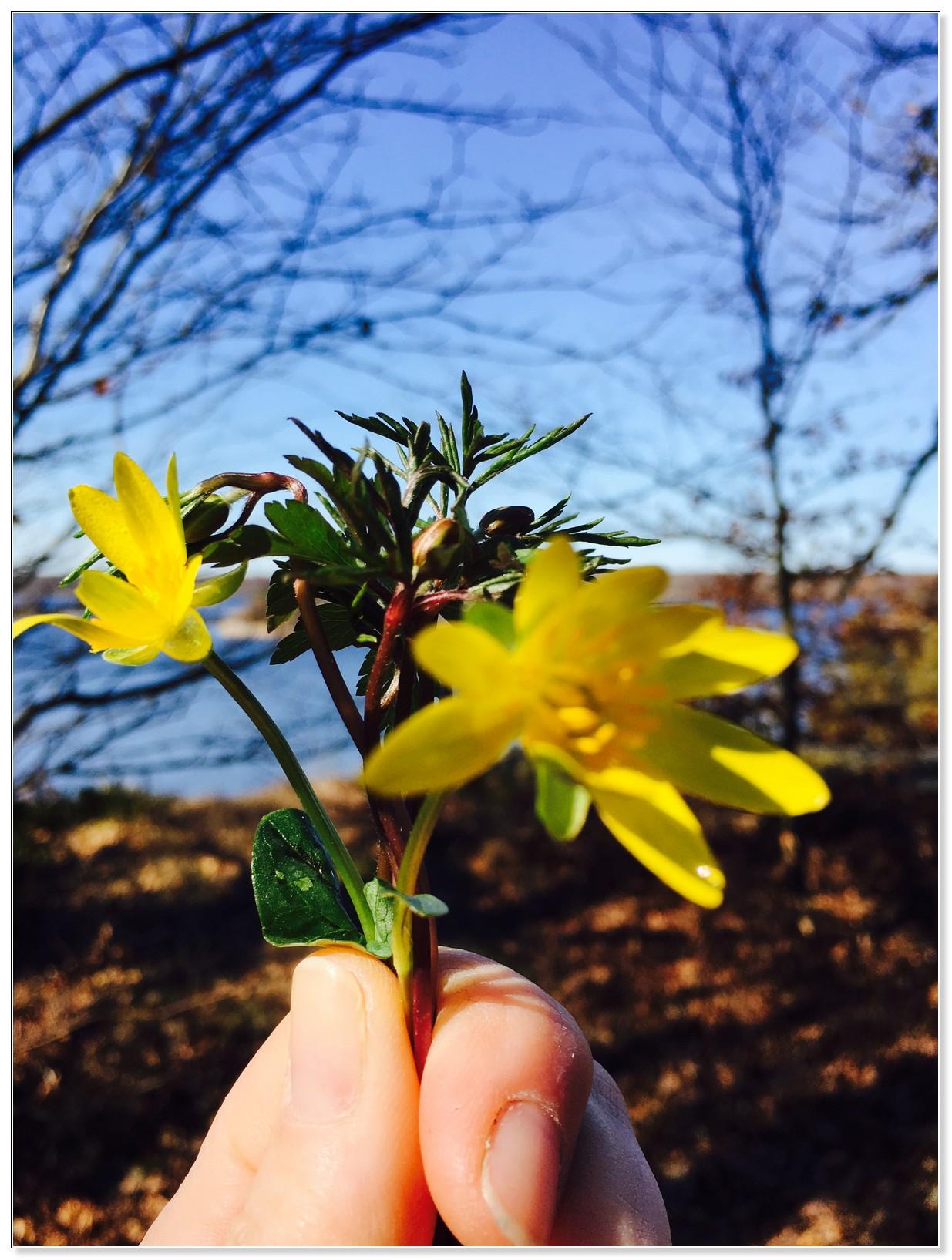 Bidrag 7 - Årets allra första vårblommor uppe på berget intill Västra Mark.