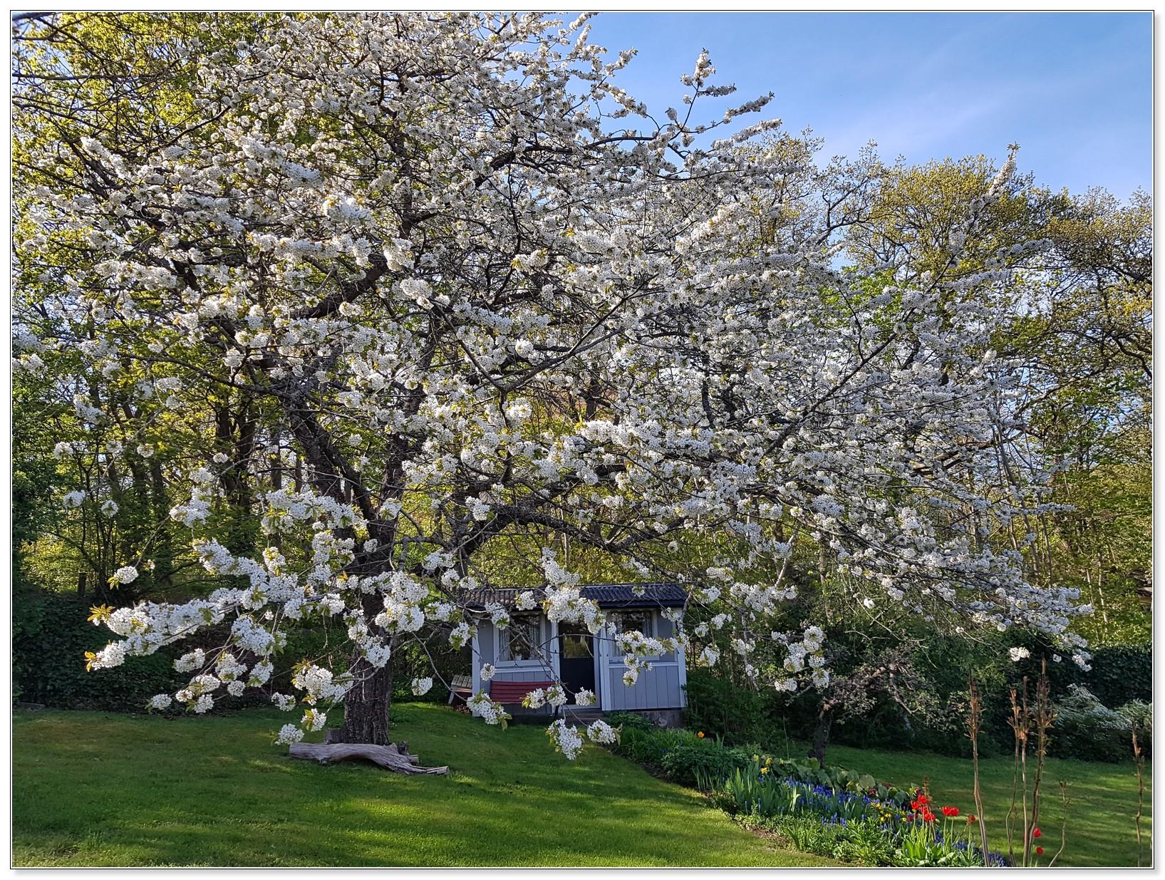 Vinnarbild 2018 -  Blommande körsbärsträd - Kerstin Jonsson