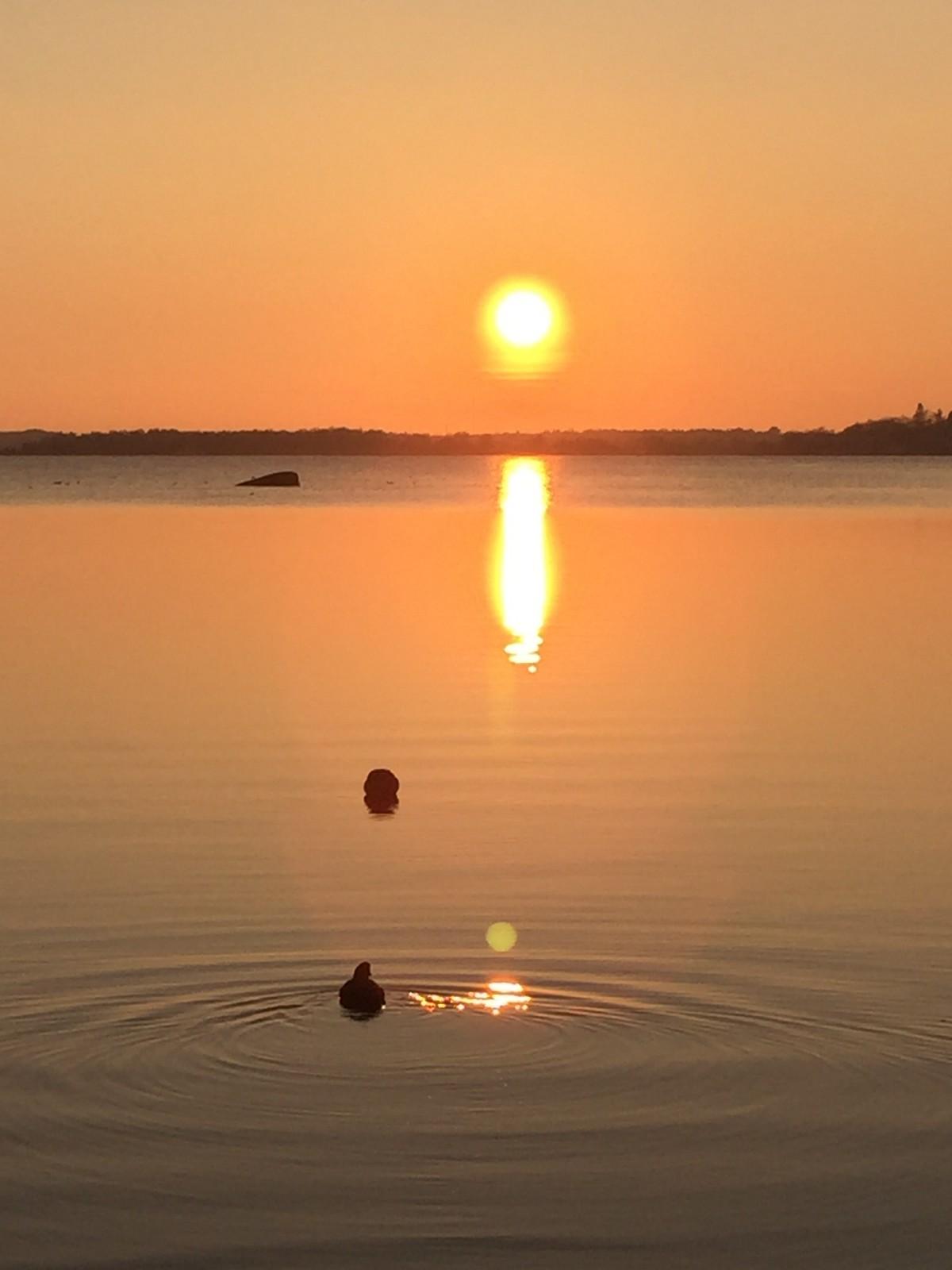 Bidrag 1 - Sothönor som simmar mot solnedgången