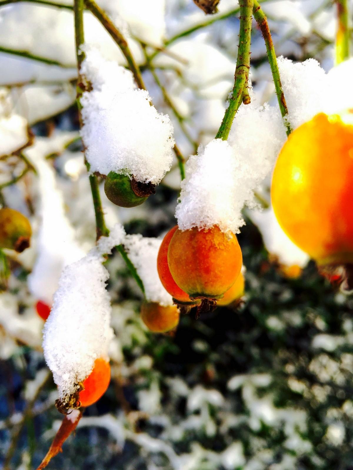 Bidrag 20 – Några snötäckta nypon på Kronobergsgatan